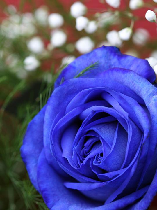 18 roses bleues en cello - ST46